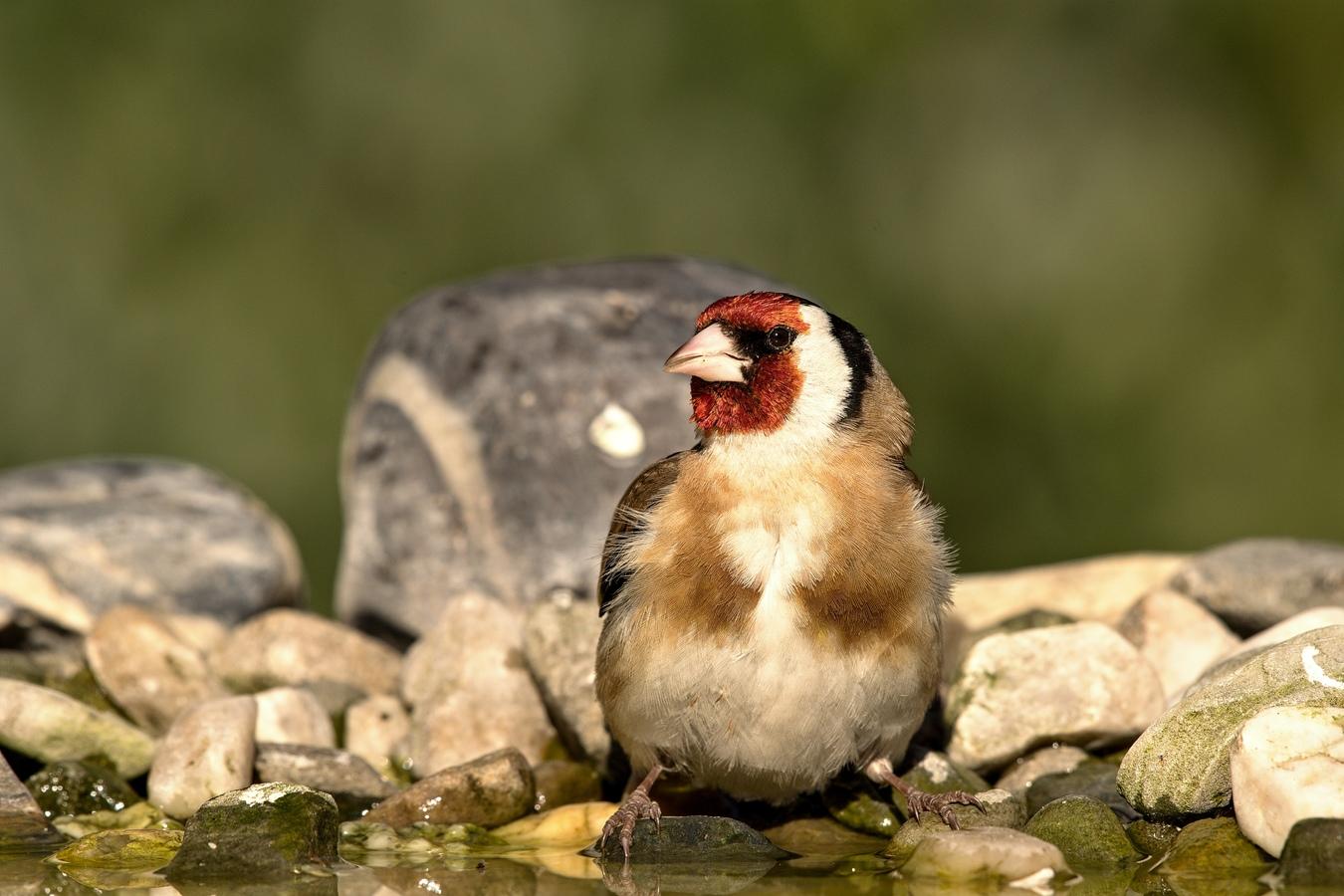 (Carduelis carduelis) Stehlík obecný