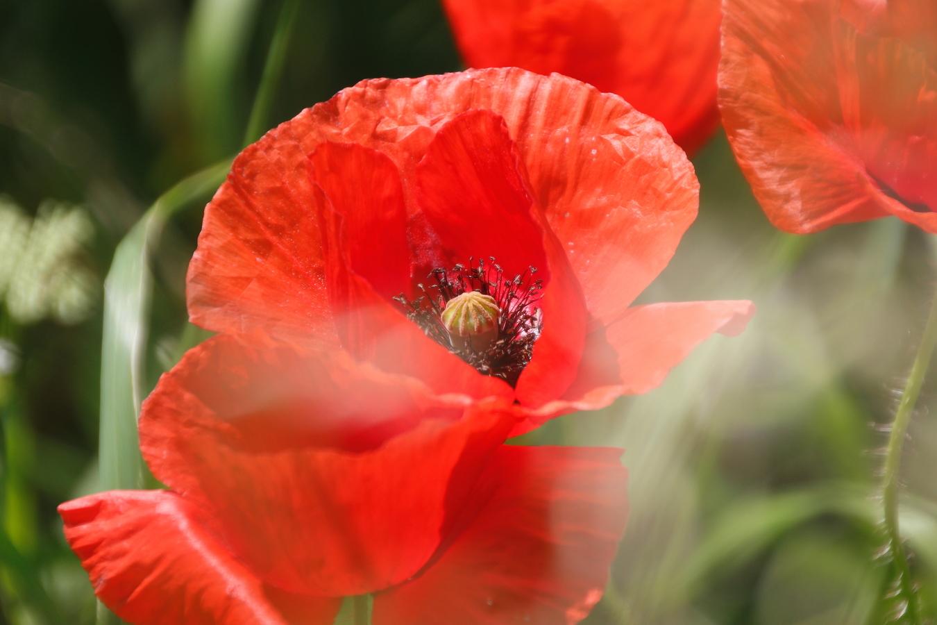 divoka květina
