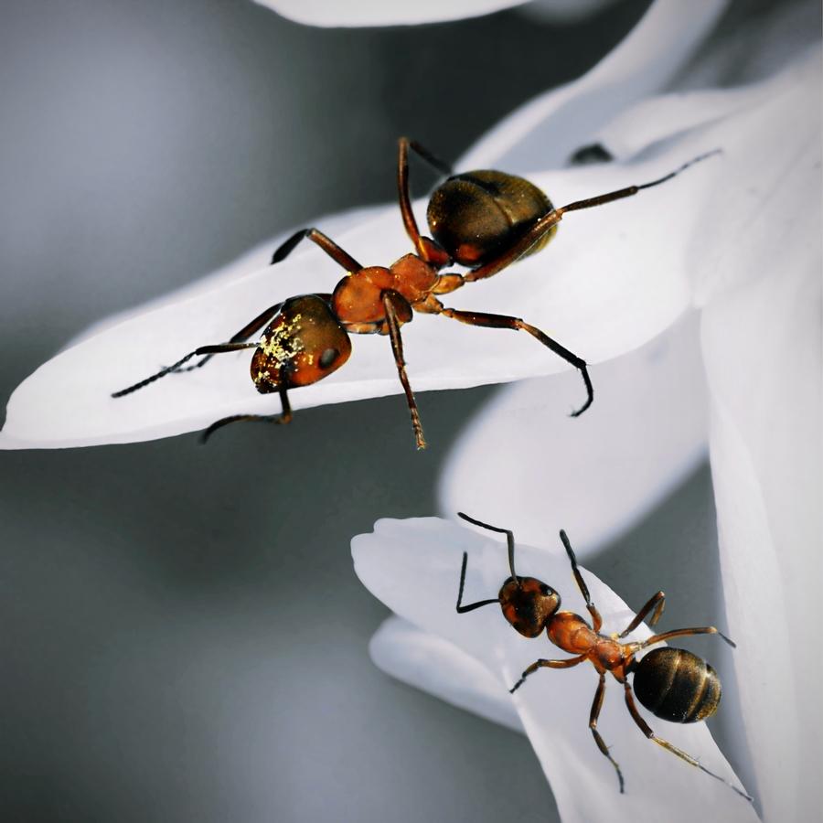 Mravenčení