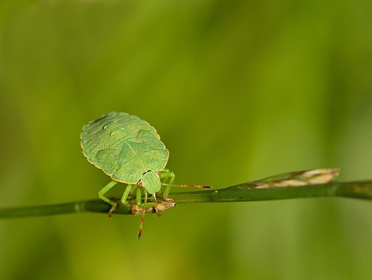Kněžice trávozelená (Palomena prasina)