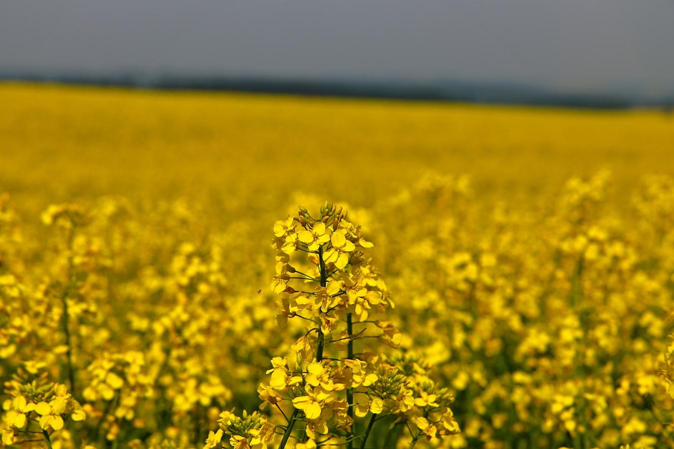 Žlutý svět