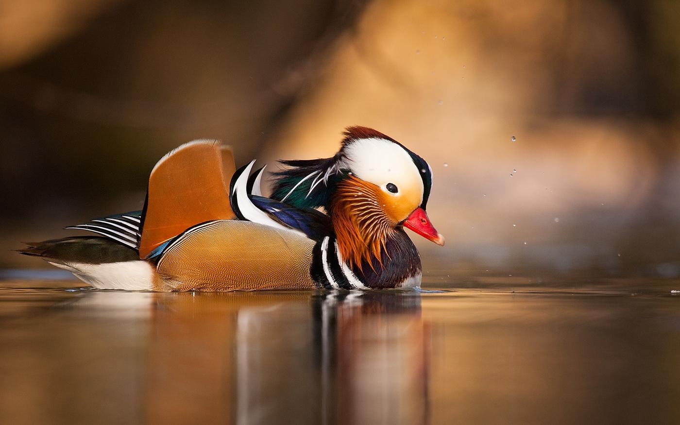 Kachnička mandarínská