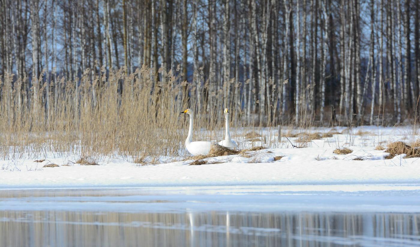 Na zamrzlém jezeře Keitele Finsko labutě zpěvné