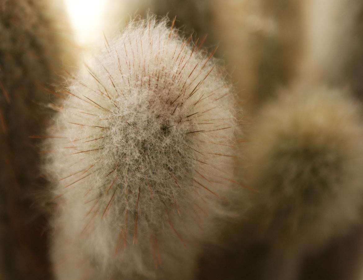 Nejoblíbenější chlupáč mezi kaktusy