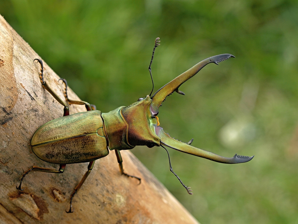 Cyclommatus chewi