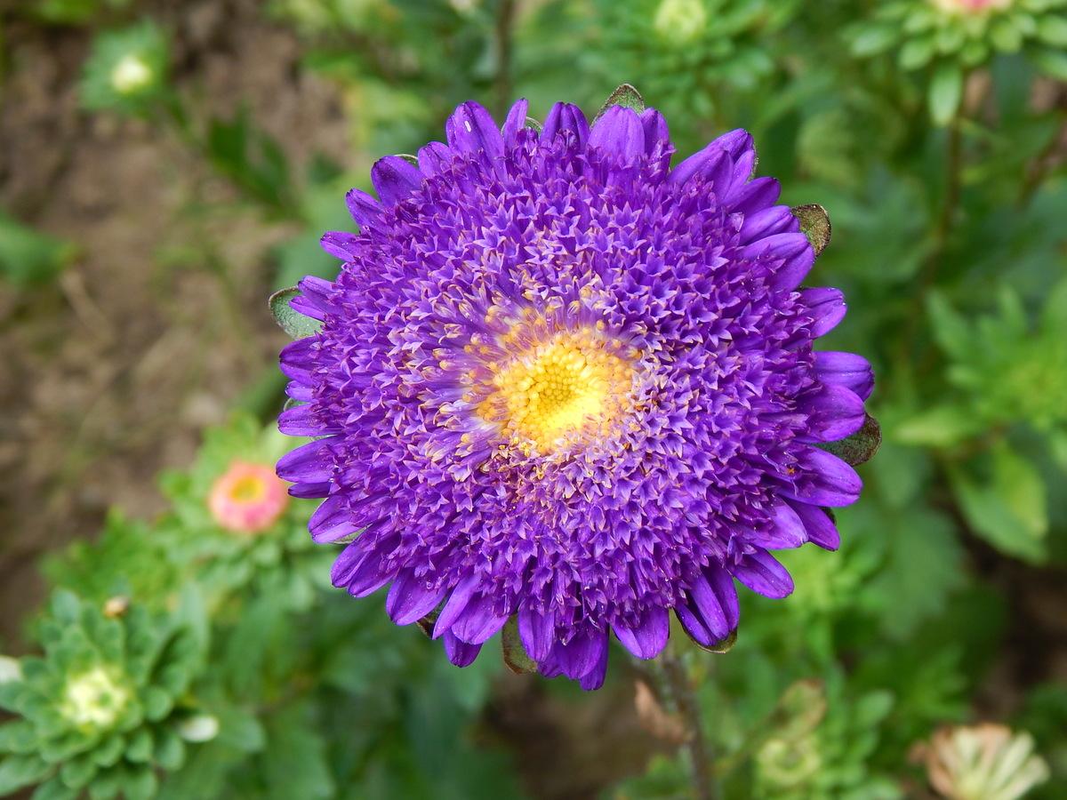 Astra květina podzimu.
