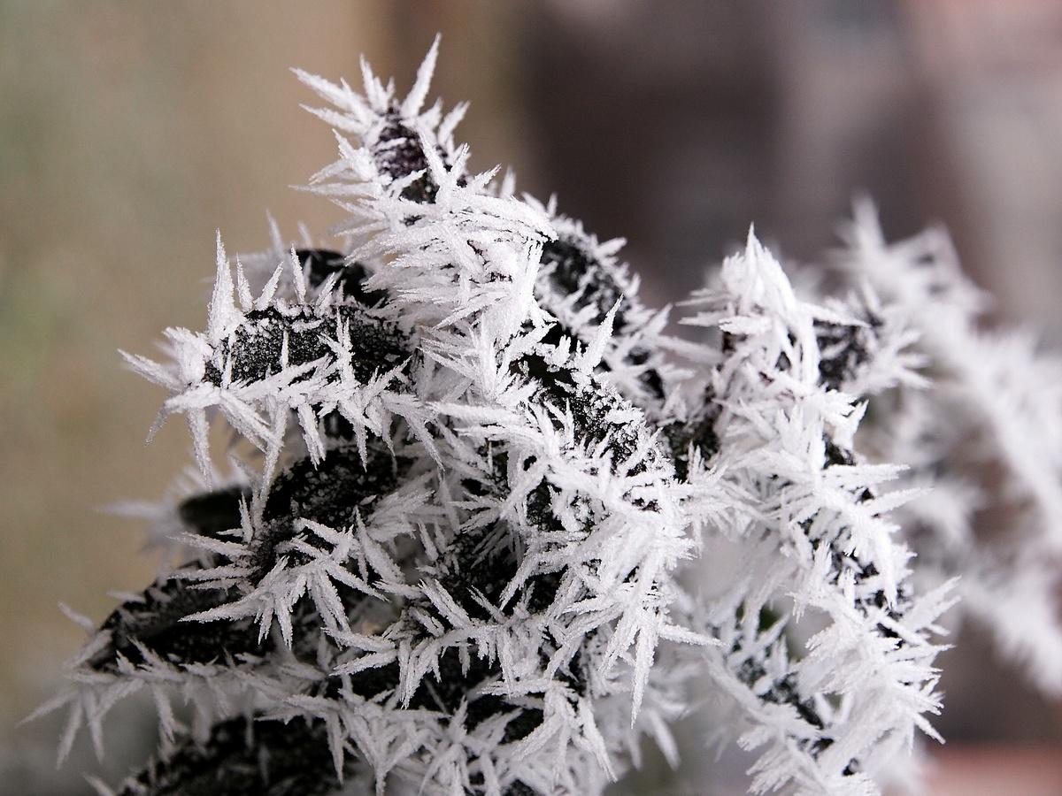 Zimní kaktus.