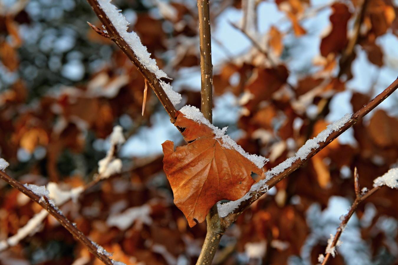Zimní list