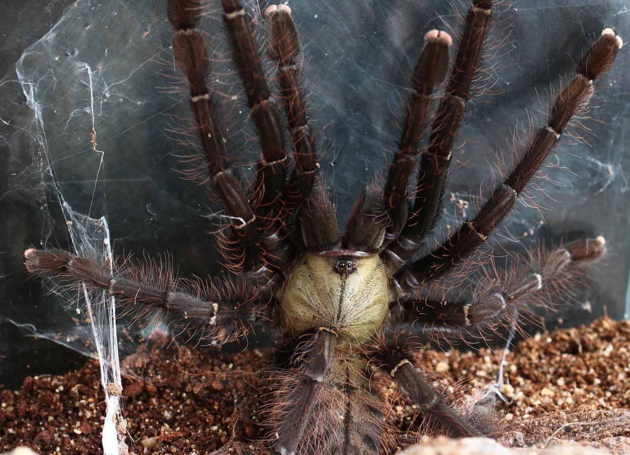 Pavoučí ochlupení