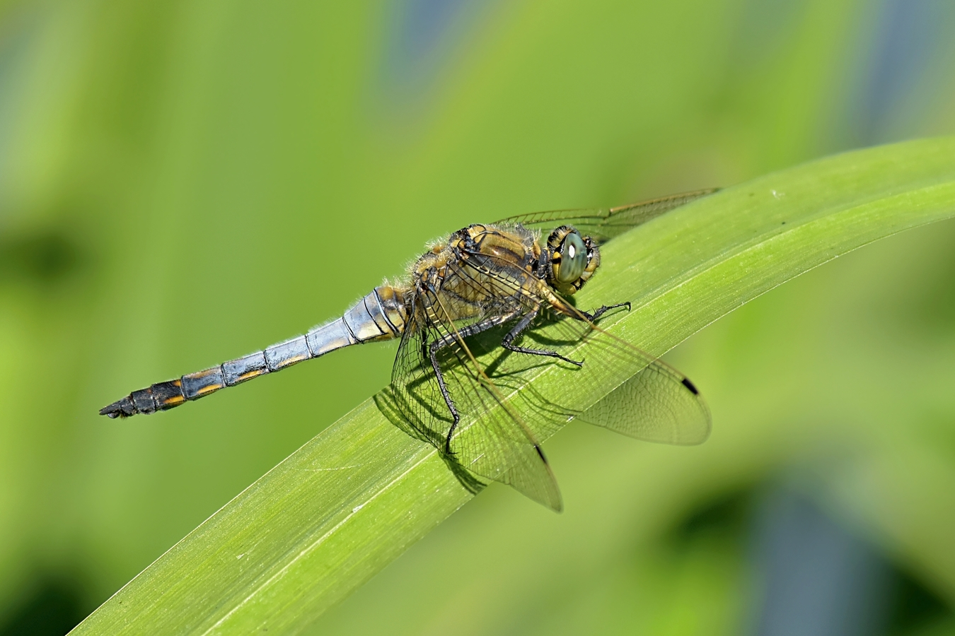 Vážka černořitná - Orthetrum cancellatum