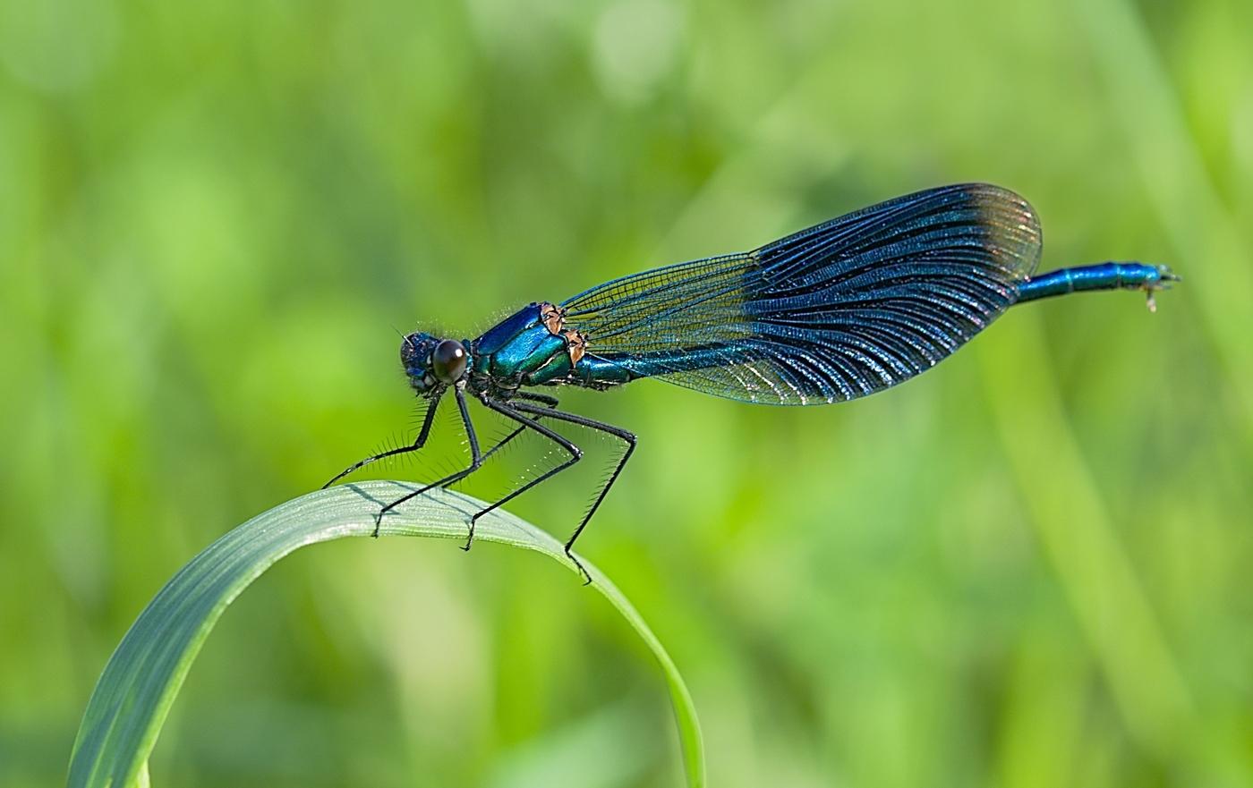 motýlice lesklá, modrá
