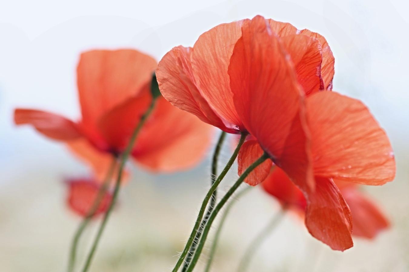 Květy pro Carmen