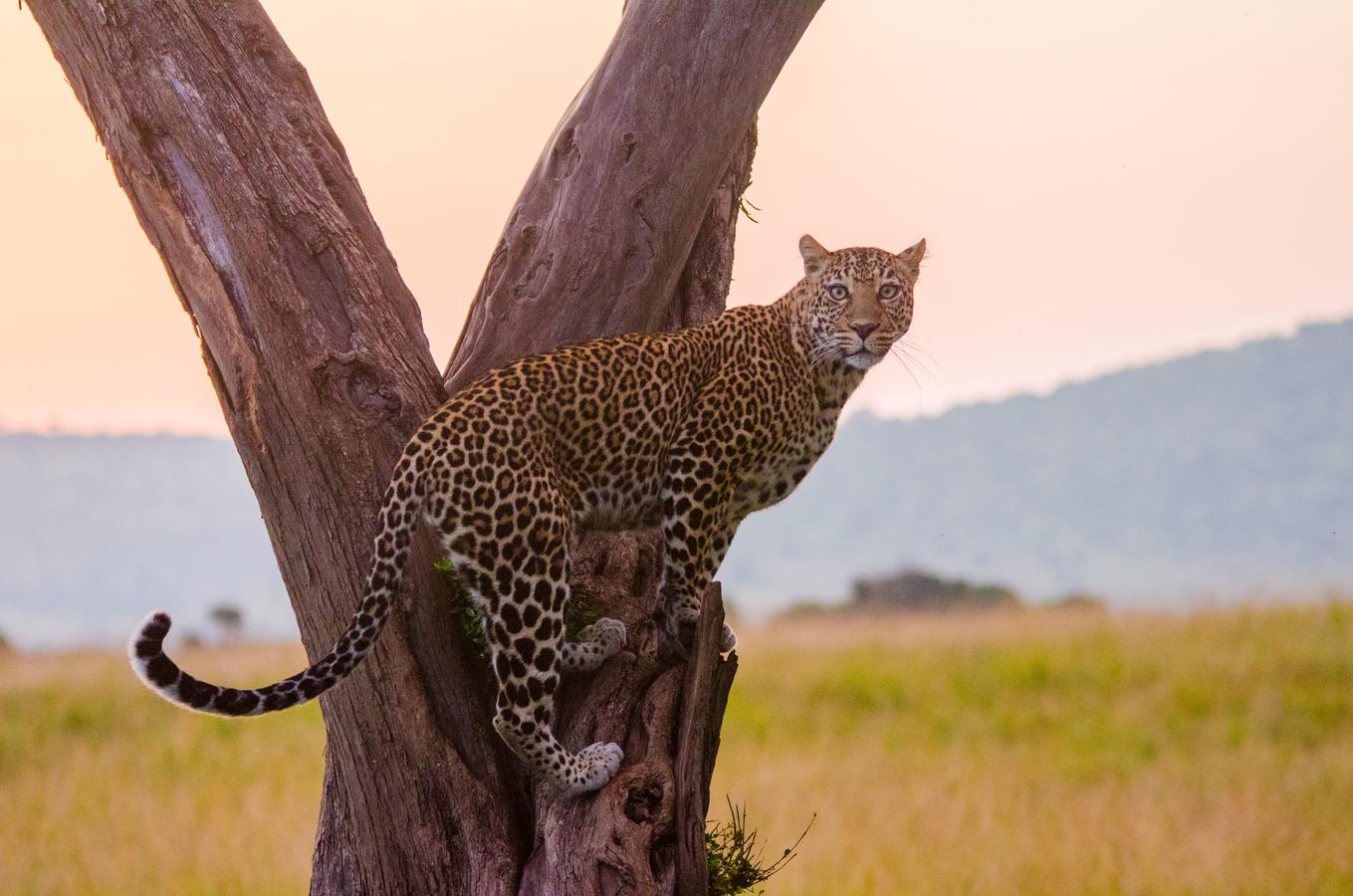 Večerní setkání s leopardem