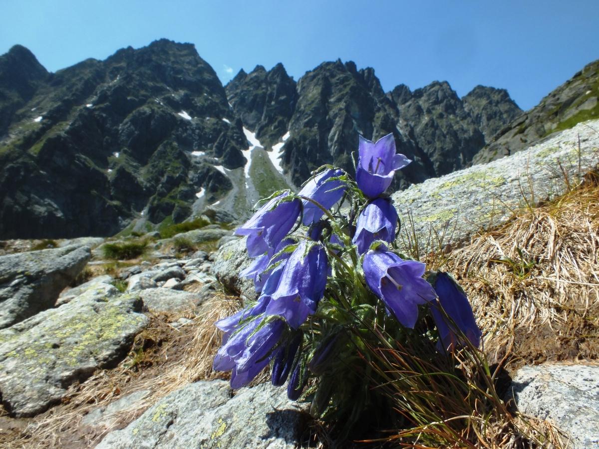 Zvonek alpský
