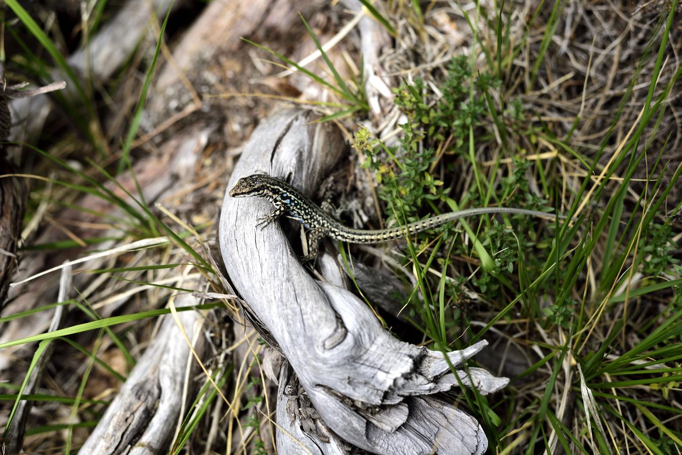 Korzická ještěrka