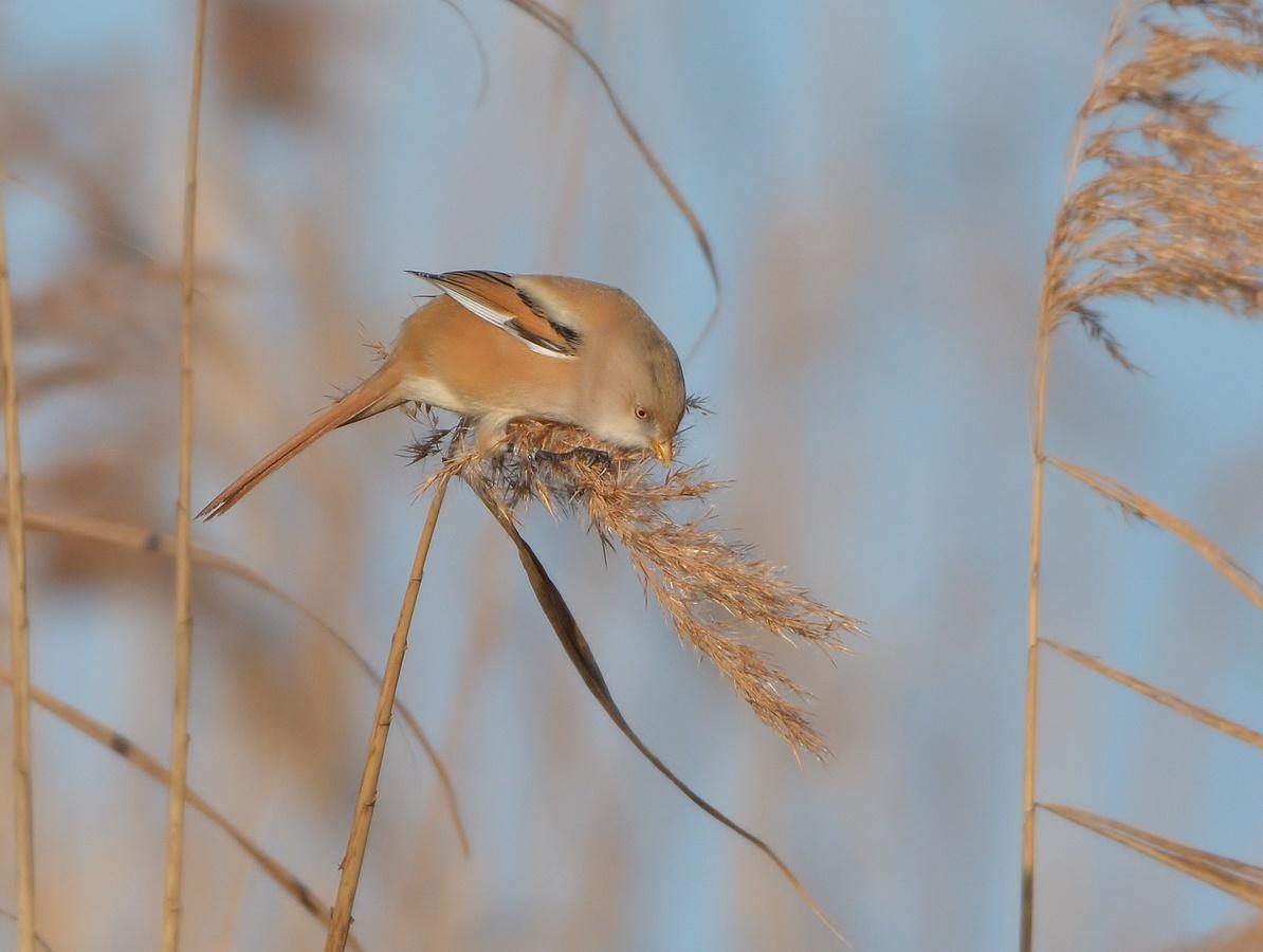 Sýkořice vousatá (samička)