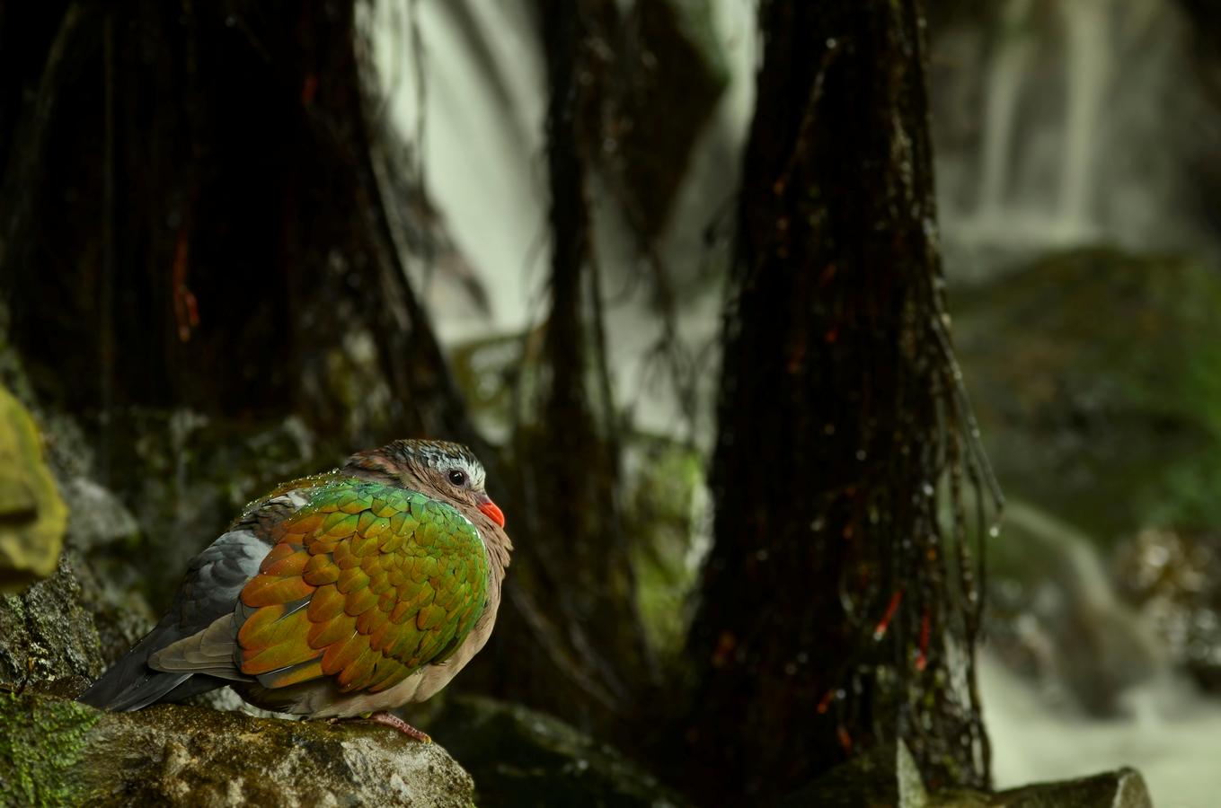 Holub zelenokřídlý (Chalcophaps indica)