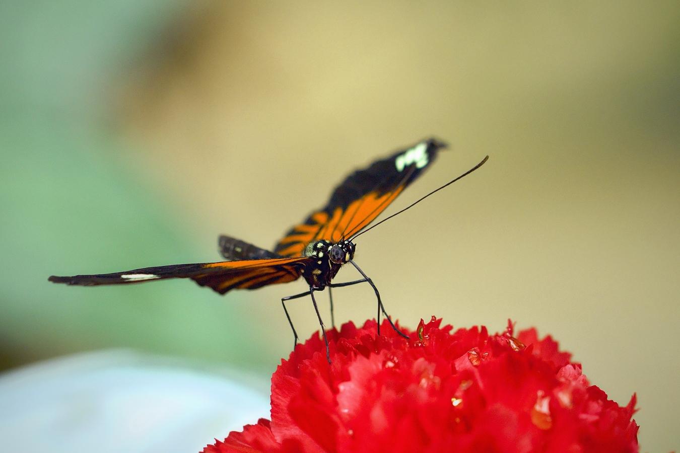 Karafiát s motýlem