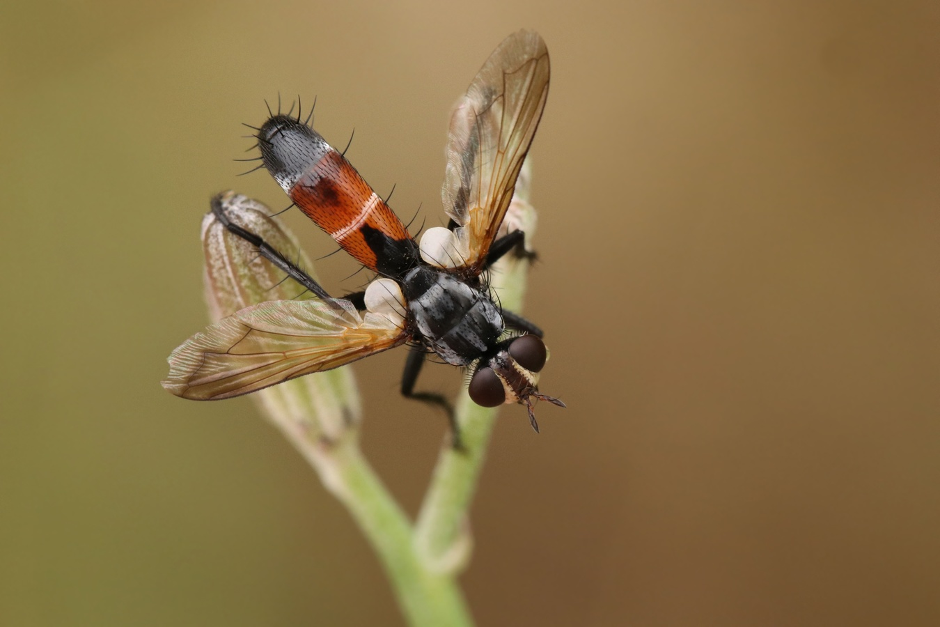 Kuklice (Cylindromyia brassicaria)