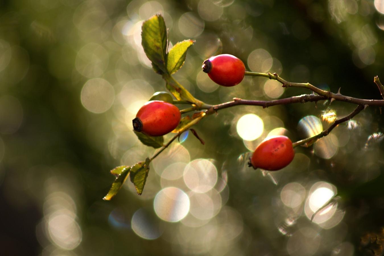 Podzimní šípek