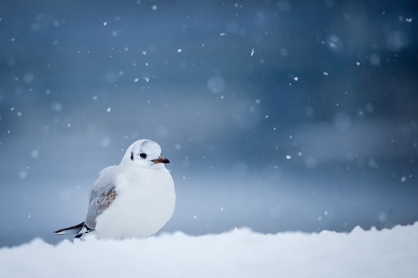 Racek v zimě