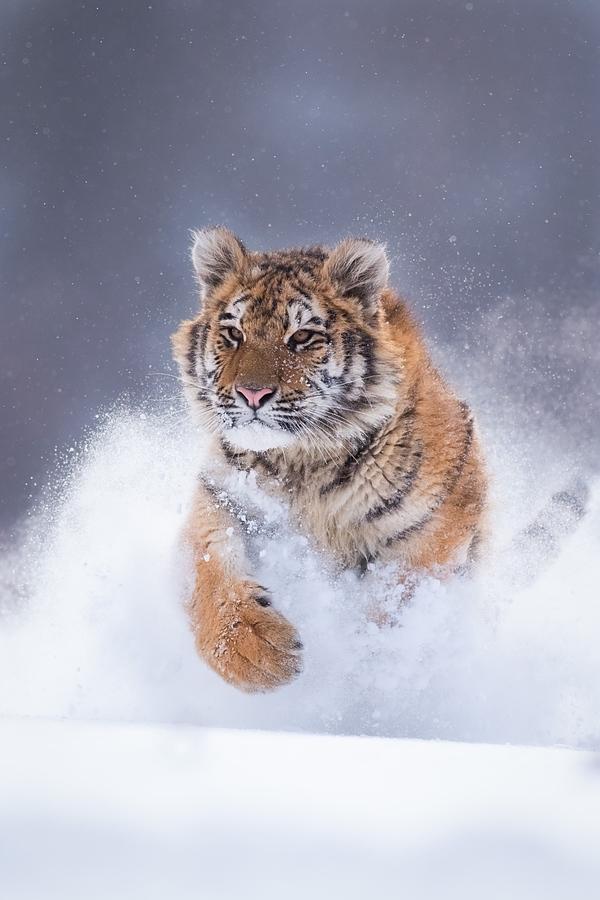 Tygr ussurijský v LP