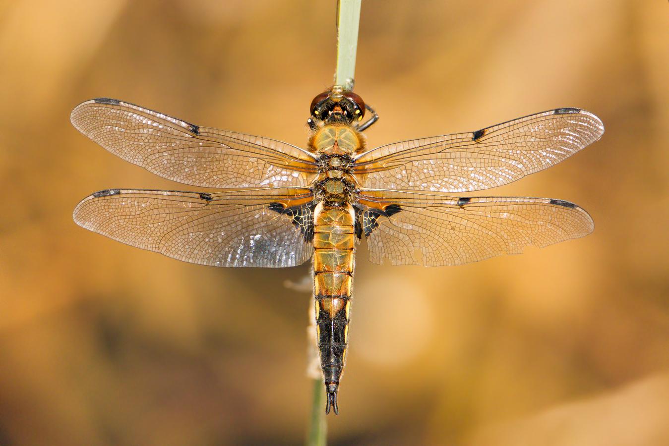 Vážka čtyřskvrná