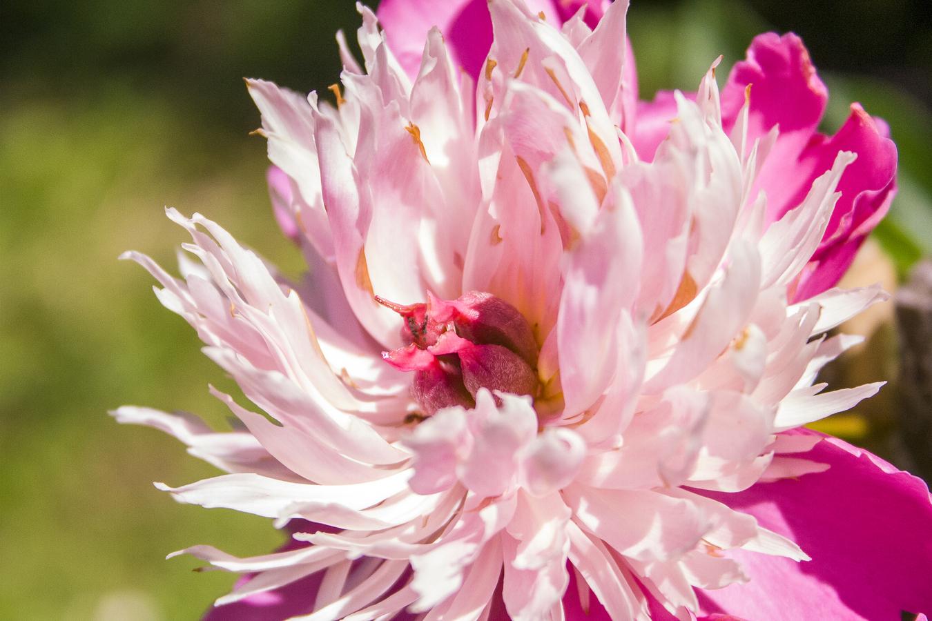 Střed rozkvétajícího květu
