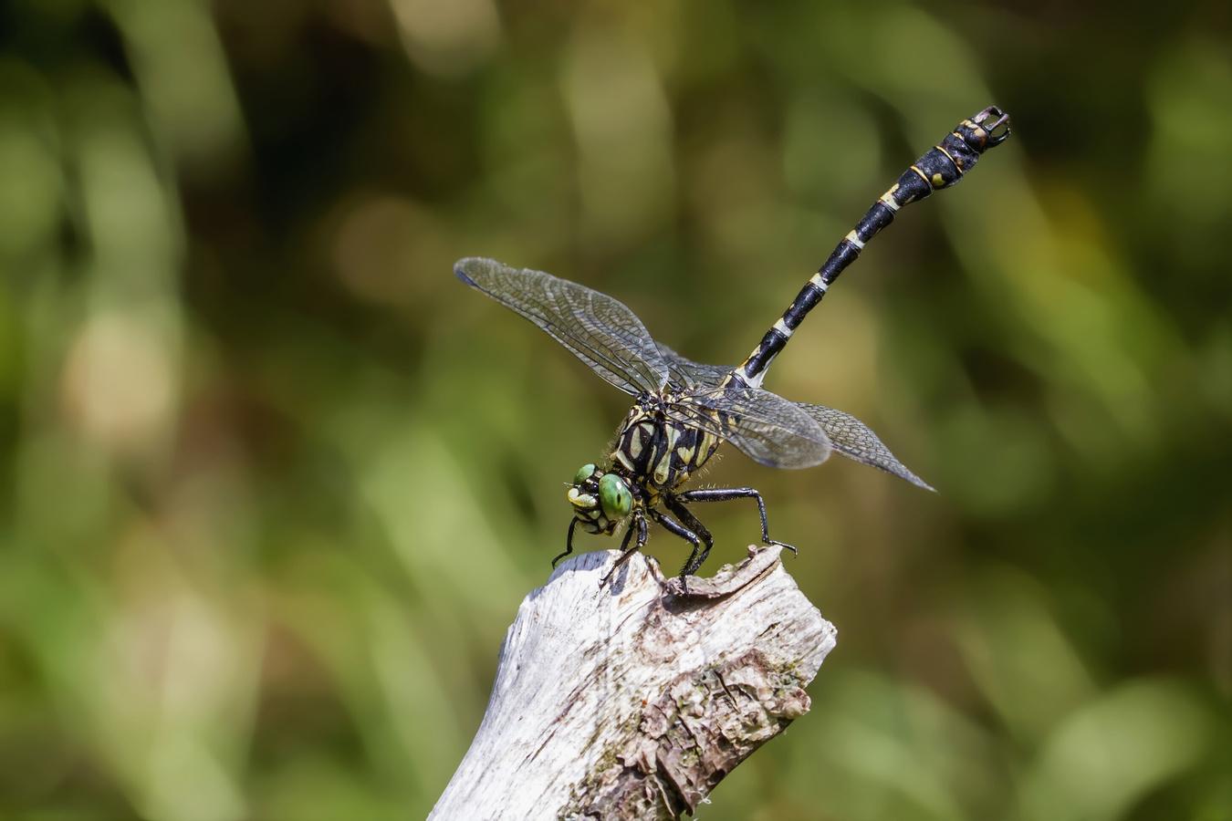 Klínatka vidlitá - Onychogomphus forcipatus