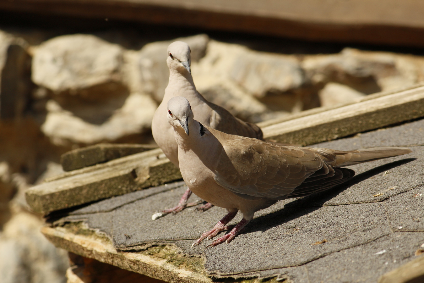 Birds gallery-Hrdlička zahradní