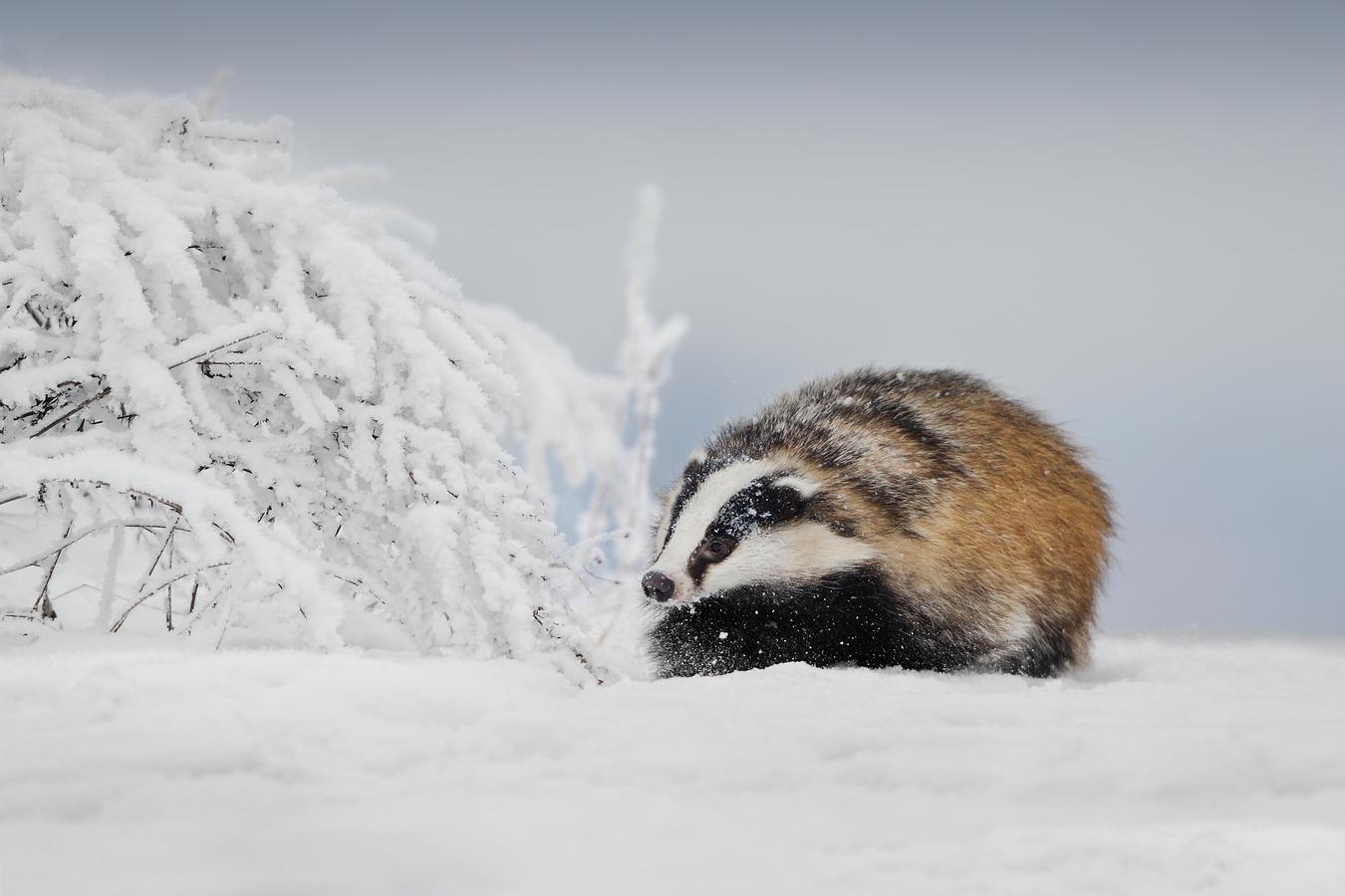 oči má sněhem zaváté …