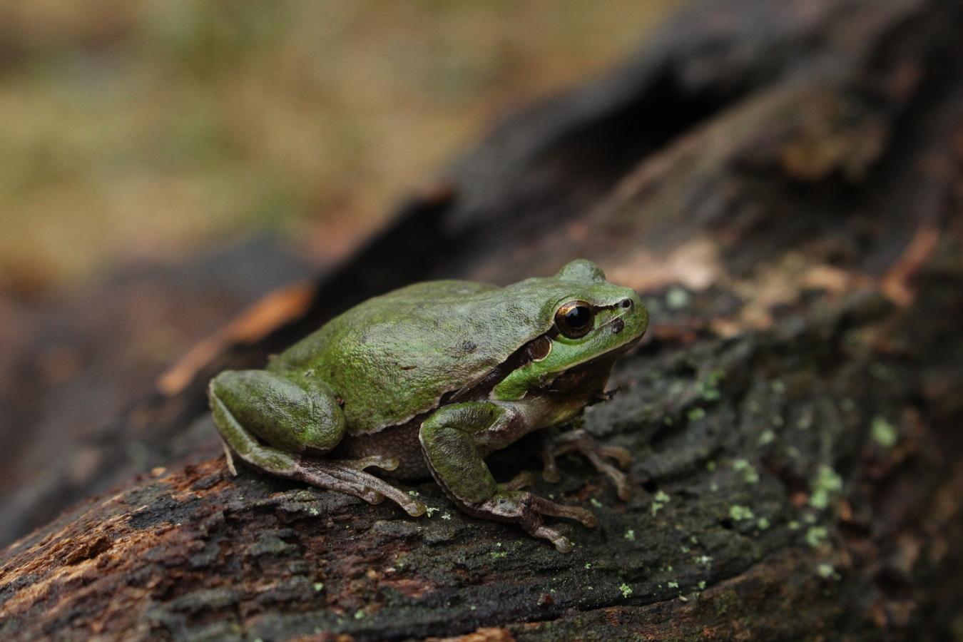 Malá žába