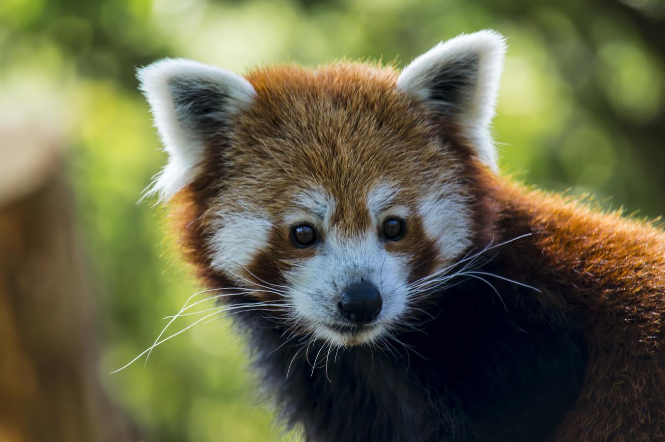 panda červena a její pohled