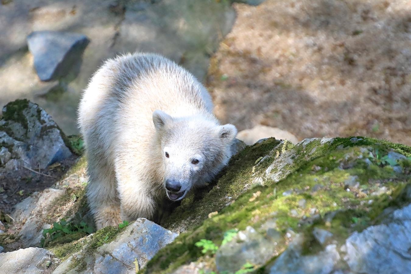 Lední medvídě...
