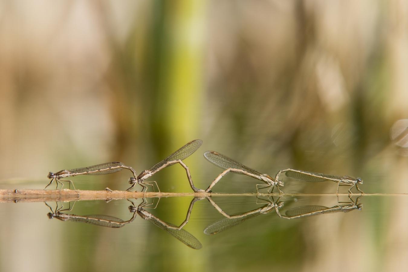 Šidlatka hnědá (Sympecma fusca)