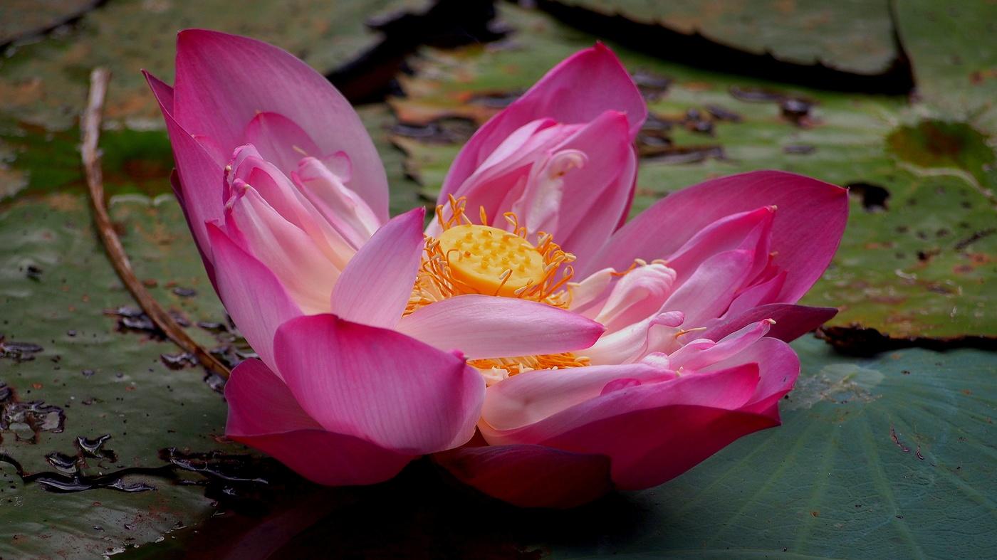 lotos indický- Sri Lanka