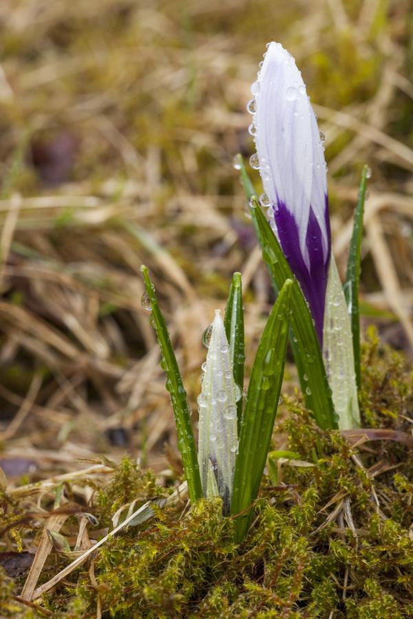 Šafrány s kapkami jarního deště