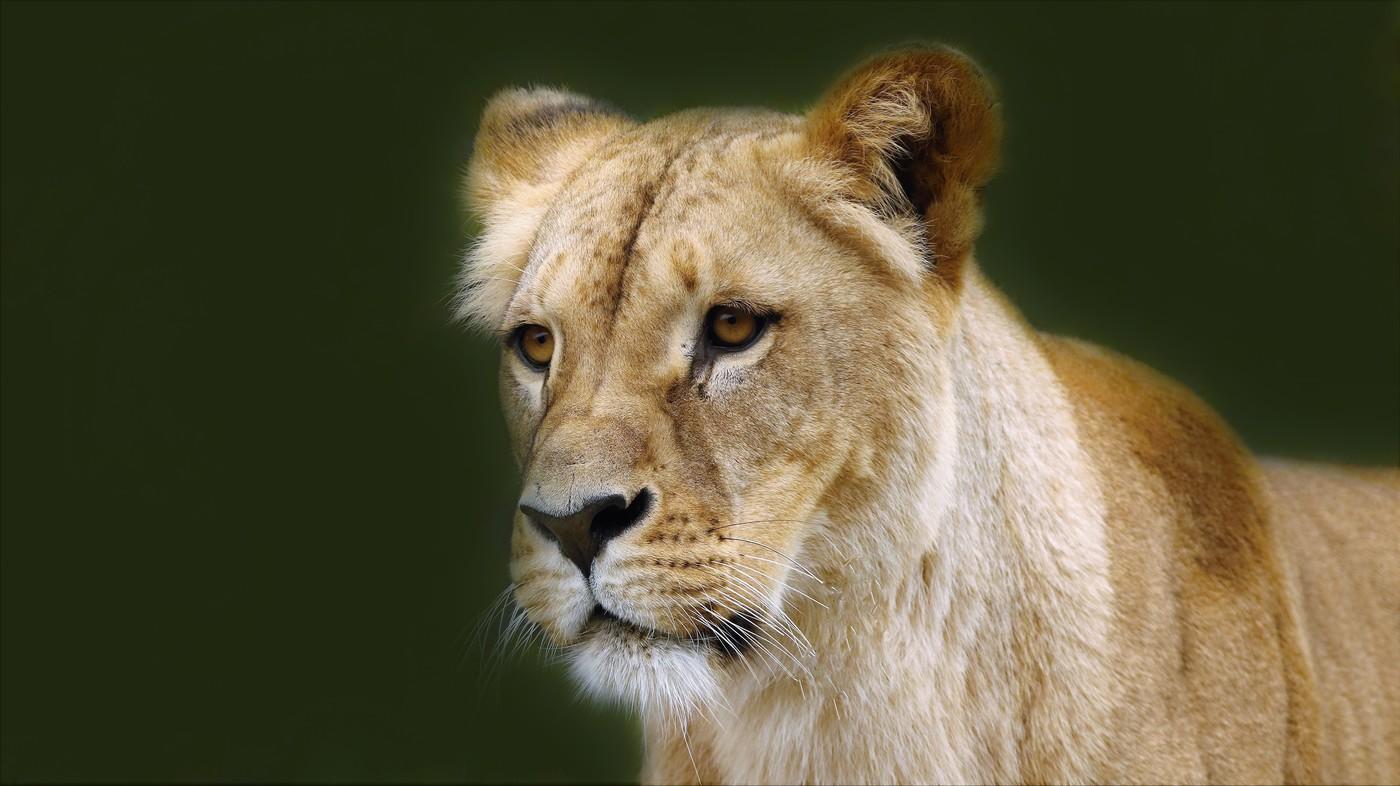 lvice kožská