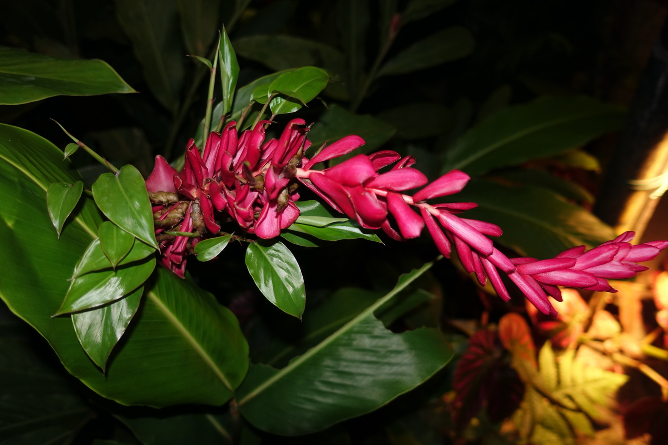 Fata Morgana - tropická rostlina