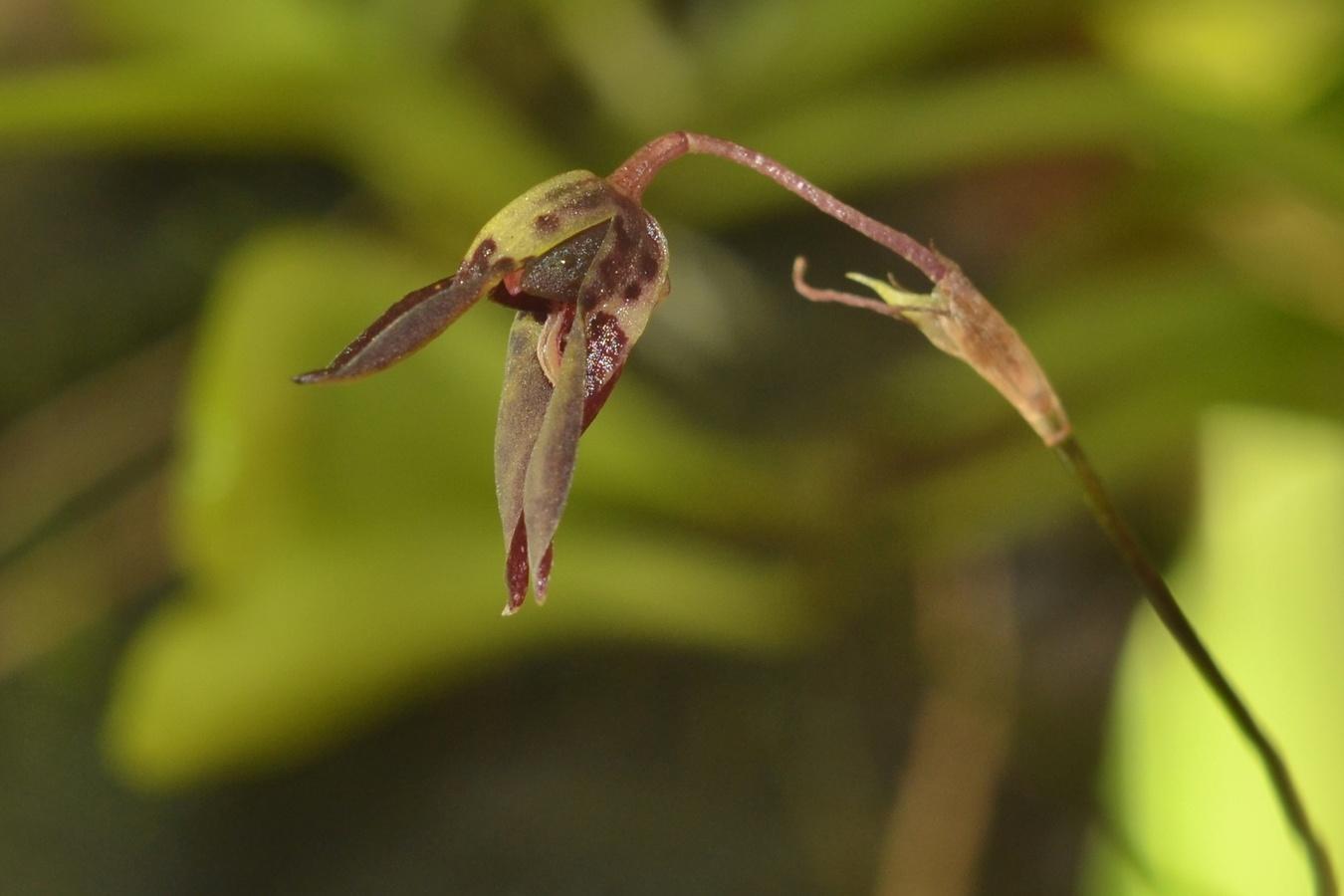 Specklinia acrisepala