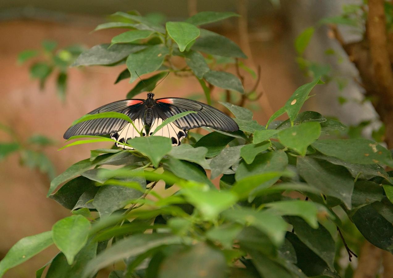 Motýl lll