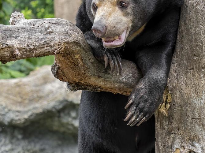malajský medvěd