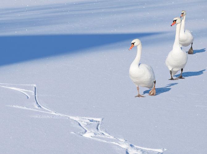 Labutí pochod