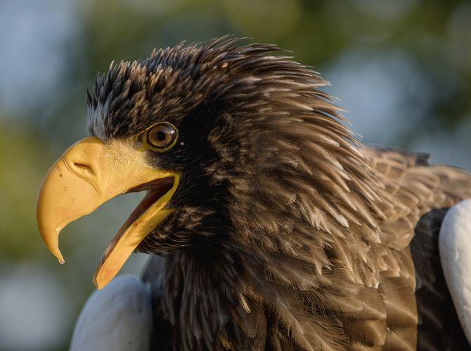 Portrét orla kamčatského