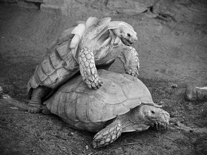 Želva + želva = VL