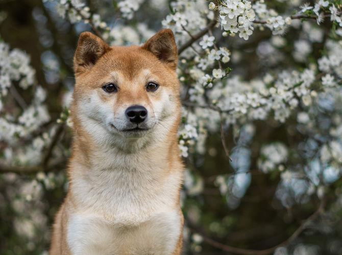 Shiba v rozkvetlé přírodě