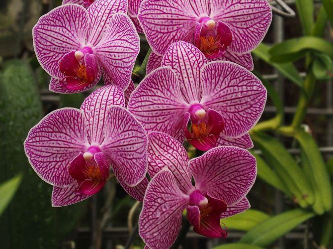 Orchidej Phalaenopsis II.