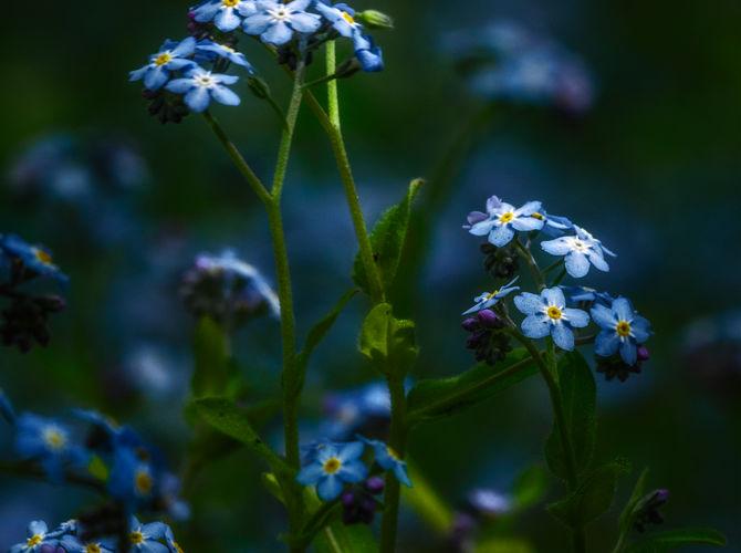 Modrý půvab