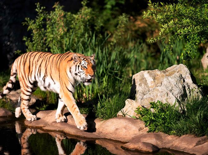 Pohoda u vody - tygr ussurijský