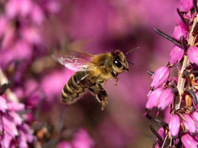 Včelí nálet